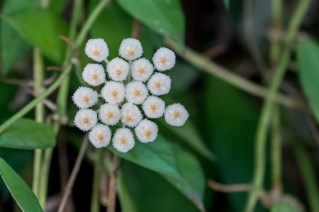70 - Hoya lacunosa