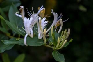 16 - Lonicera japonica
