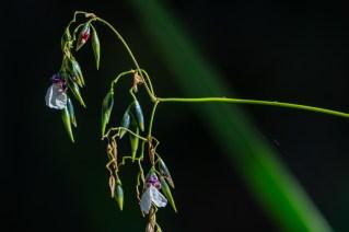 31 - Thalia geticulata