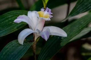 53 - Sobralia yauaperyensis
