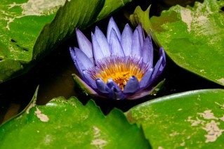 71 - Nymphaea capensis