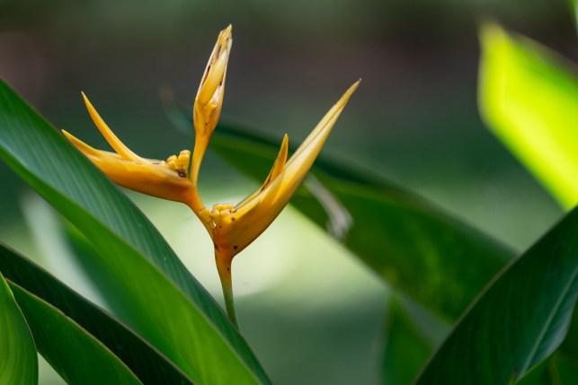 72 - Heliconia hirsuta