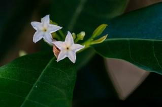 83 - Mascarenhasia arborescens