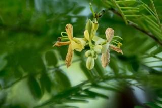 04 - Tamarindus indica