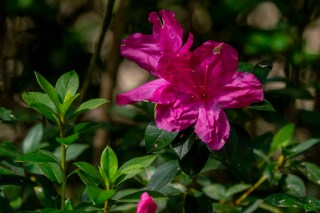 38 - Rhododendron simsii