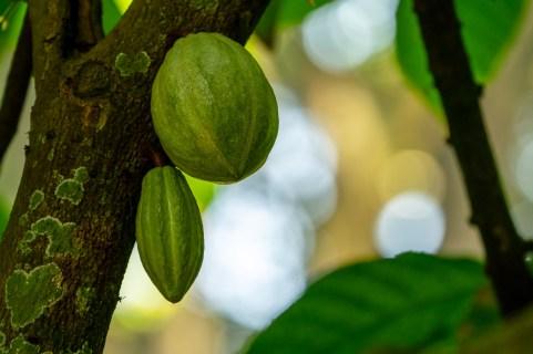 71 - Theobroma cacao