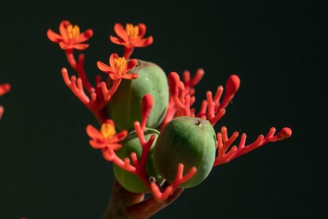 16 - Jatropha podagrica