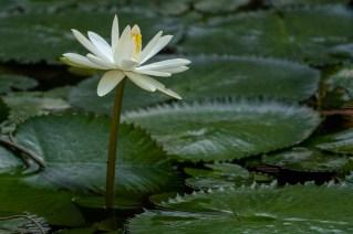 27 - Nymphaea lotus