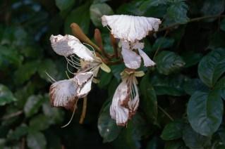 42 - Camoensia scandens
