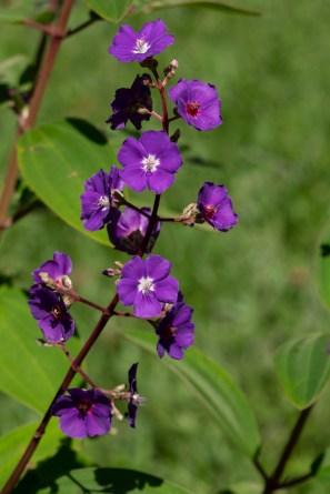 48 - Pleroma heteromallum