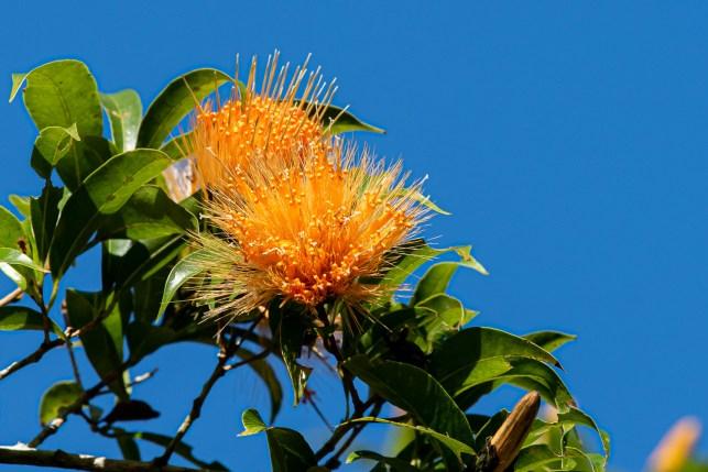 33 - Stifftia chrysantha (b)