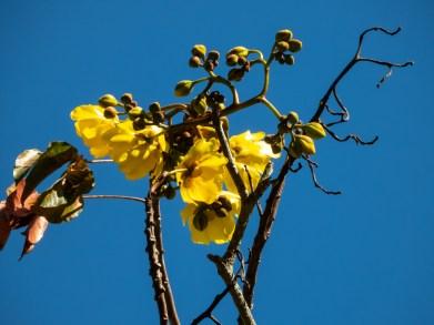 37 - Cochospermum vitifolium