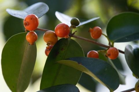48 - Mouriri guianensis