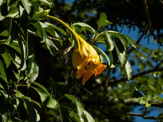 49 - Solandra paraensis