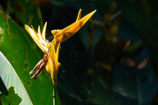 54 - Heliconia hirsuta
