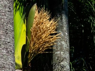 57 - Roystonea oleracea