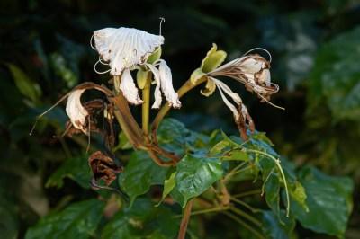 59 - Camoensia scandens