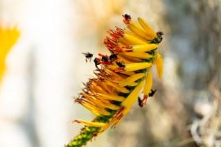 19 - Aloe marlothii