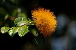 32 - Stifftia chrysantha