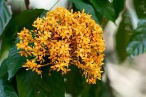 39 - Saraca thaipingensis