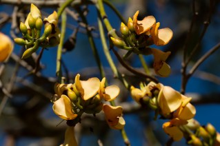 44 - Erythrina fusca