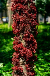 45 - Theobroma subincanum (tronco)