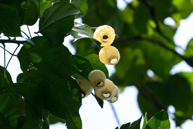 51 - Hernandia sonora (na árvore)