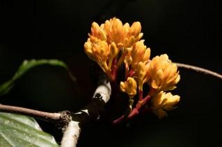 63 - Saraca thaipingensis