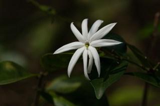 05 - Jasminum laurifolium