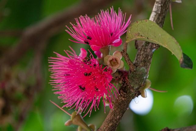 06 - Syzygium malaccense
