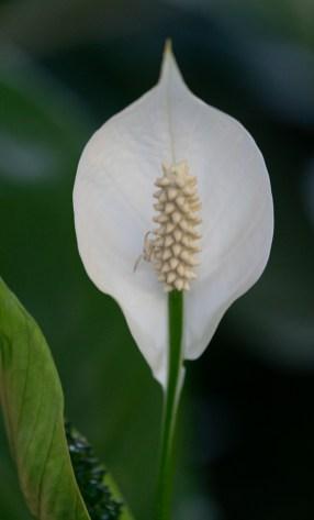10 - Spathiphyllum wallisii