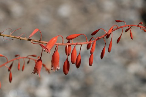 19 - Aloe parvula