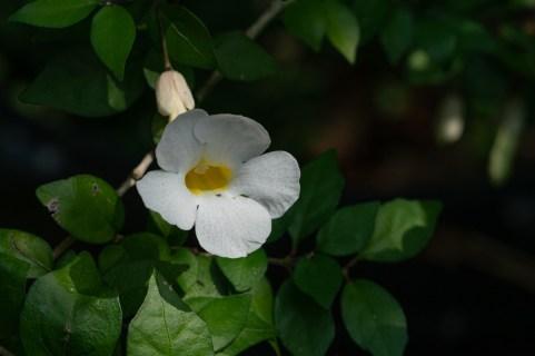21 - Thumbergia sp