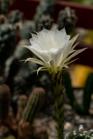 38 - Echinopsis subdenudata