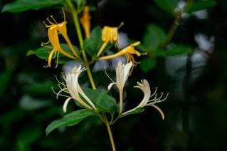 44 - Lonicera japonica