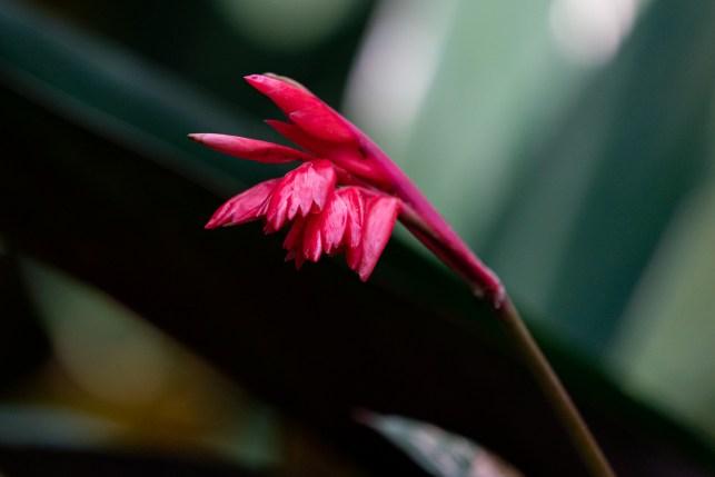 46 - Stromanthe thalia