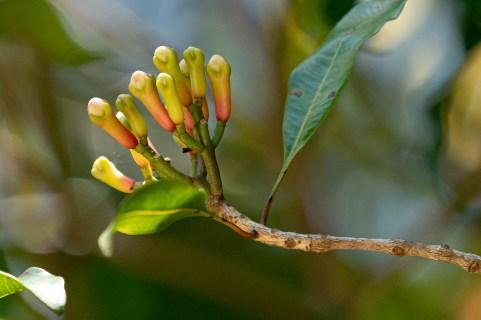 64 - Syzygium aromaticum