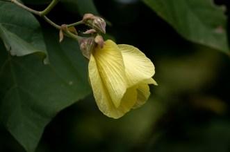 71 - Hibiscus tiliaceus