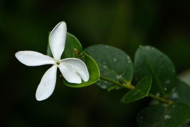 85 - Carissa spinarum