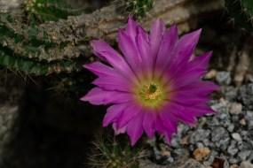 15 - Echinocereus viereckii