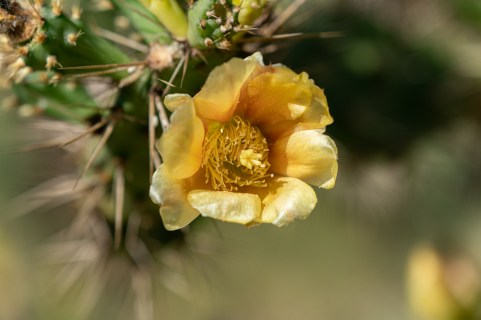 21 - Opuntia pubescens