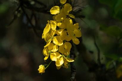25 - Cassia fistula