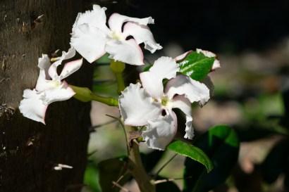 25 - Pachypodium saundersii