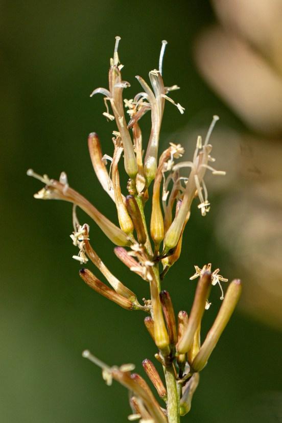 28 - Sansevieria ehrenbergii