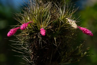 29 - Tillandsia stricta (2)