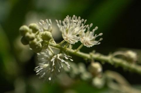 38 - Croton compressus