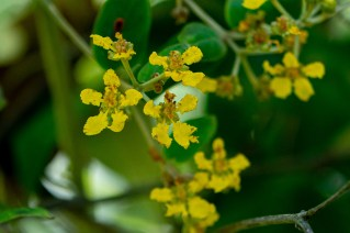 44 - Banisteriopsis laevifolia