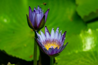 45 - Nymphaea capensis