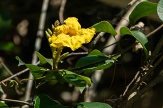 48 - Dolichandra unguis-cati