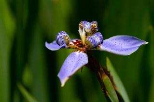 57 - Neomarica caerulea
